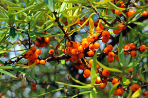 sea-buckthorn-tree